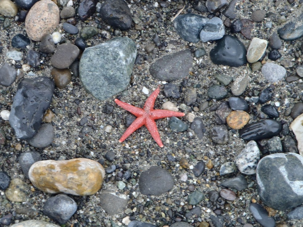 Sea star on Dungeness Spit