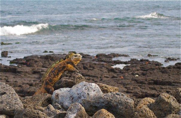 Iguana.galapagos