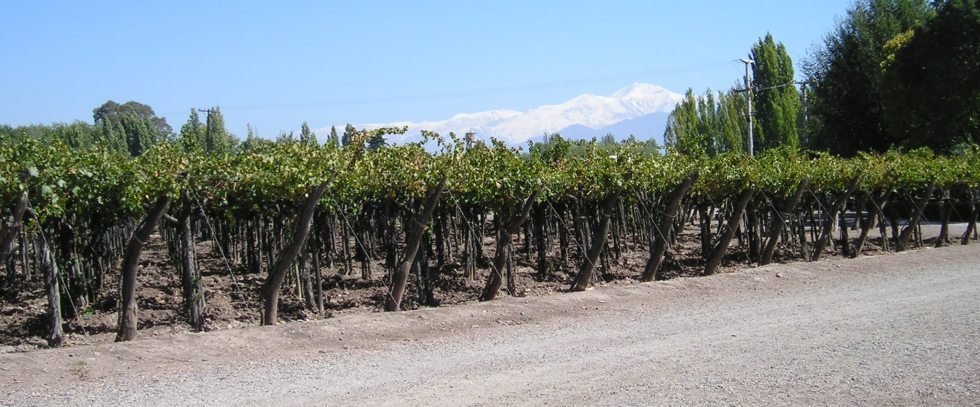 Vineyard in Mendoza, Argentina