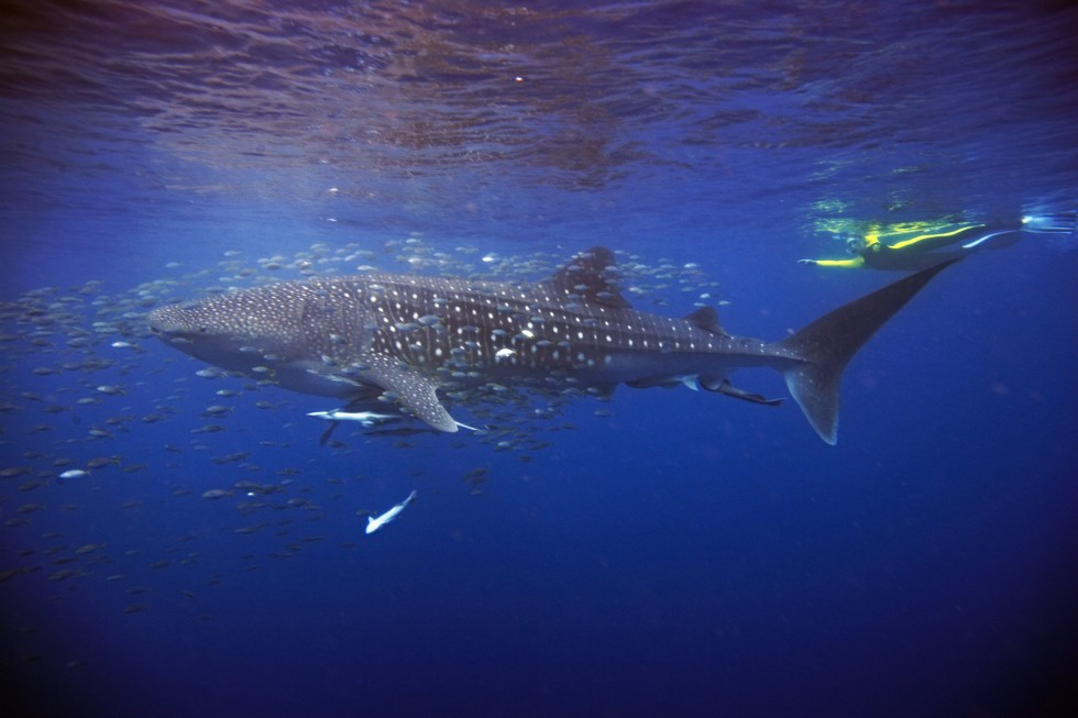 Swimming with Whale Sharks at the Ningaloo Reef