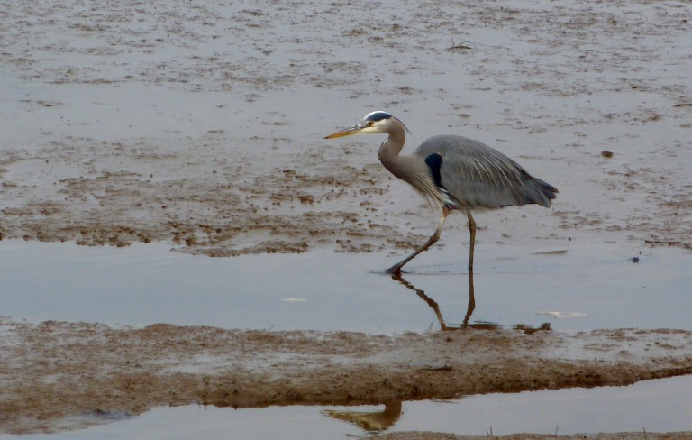 Great Blue Heron strolling in search of fish. Nisqually National Wildlife Refuge
